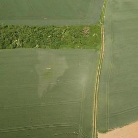 Porast pšenice ozimnej poškodený kohútikom